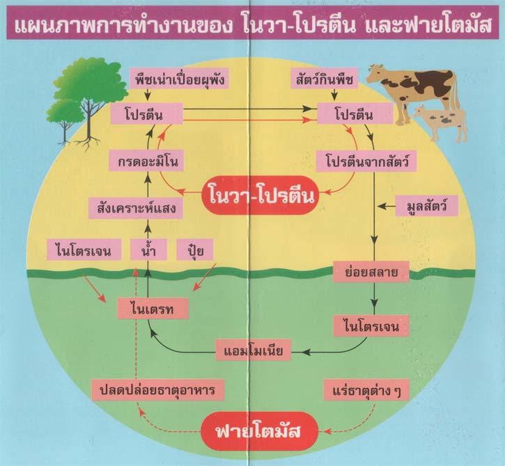แผนภาพการทำงานของ ฟายโตโนวา-โปรตีน และฟายโตมัส